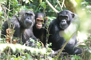 three chimps
