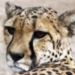 Close up of a cheetah