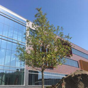 Bur Oak planted west of Hagfors Center