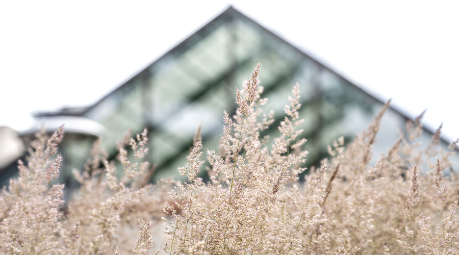 Beauty shot of tall grass with Foss Center's Atrium blurred out behind it.