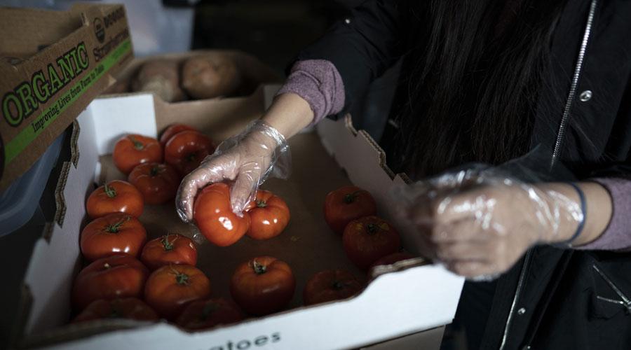 Student organizing tomatos